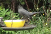 Catbird eating from jelly bowl