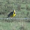 Eastern Meadowlark singing - Lake Kissimmee, FL