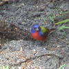 Painted Bunting, Male, Okeeheelee Nature Center, Florida
