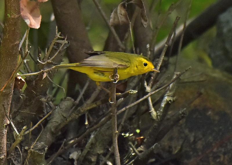 Wilson's Warbler (female/immature)