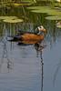 _MG_0864 Pygmy goose