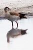 _MG_0955 Egyptian goose   Alopochen aegyptiacus