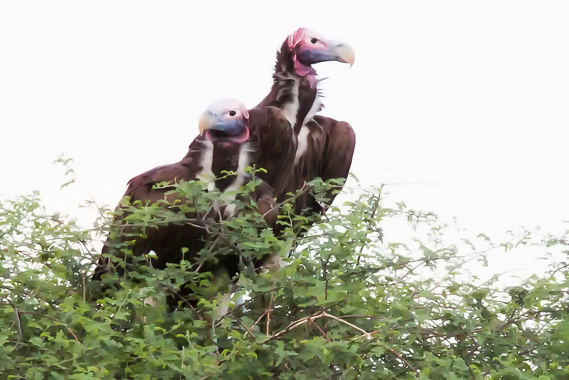_MG_0588 lappet-faced vulture Torgos tracheliotus