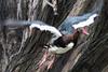 _MG_1569 P  gambensis spur - winged goose