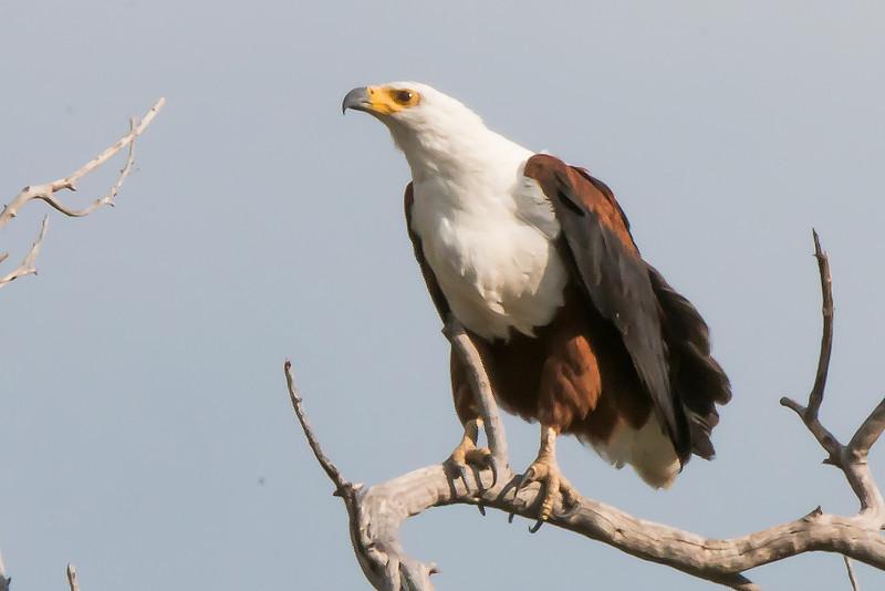 _MG_0652    Fish Eagle haliaeetus vocifer