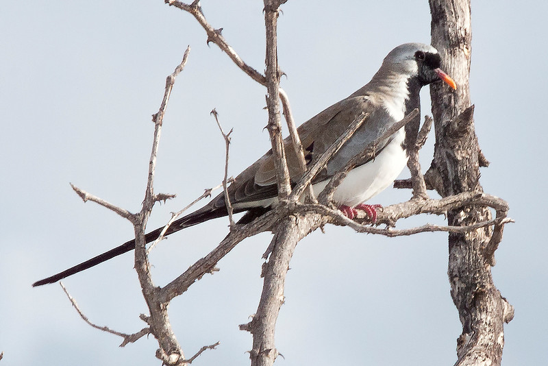 _MG_0373 Namaqua dove (Oena capensis)