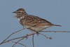 Rufous- naped Lark