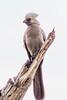 _MG_1299   go-away bird Corythaixoides concolor