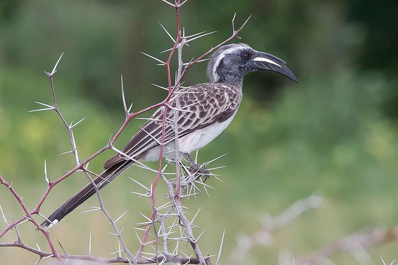 _MG_1532African grey hornbill   Tockus nasutus