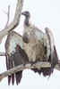 White - backed vulture