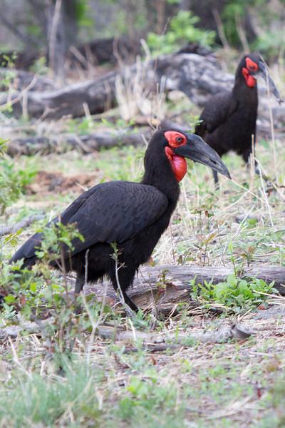 _MG_1448 adult ground hornbills