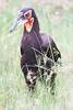 _MG_1645 ground hornbill