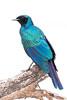_MG_1678Burchell's Starling   Lamprotornis australis