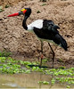 _MG_4088 saddle billed stork