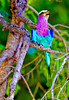 _MG_3954 lilac roller-Edit