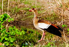 _MG_3709 egyptian goose