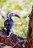 _MG_4324 red billed hornbill