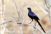 IMG_3959 starling