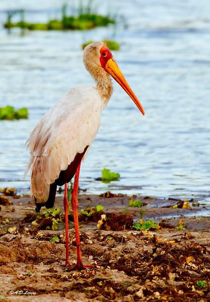 _MG_3971yellow billed stork