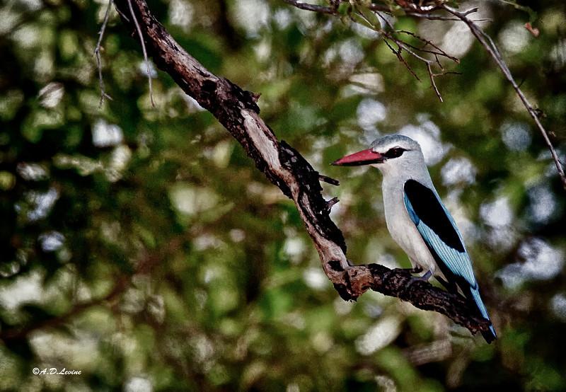 _MG_3793 woodland kingfisher