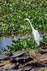 _61B3712 Great Egret among  Caiman