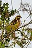 _61B3610 Savanna  Hawk (Heterospizias meridionalis)