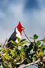 _61B3698 Red-Crested Cardinal (Paroaria coronata)