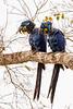 _61B3618 Hyacinth Macaw