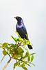 _61B3711 SOLITARY CACIQUE ( Procacicus solitarius)