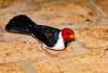 _61B3631 Yellow_Billed Cardinal (Paroaria capitata)