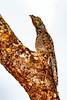 _61B3645Great Potoo (Nyctibius grandis)