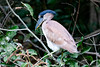 _61B3605 Boat_Billed Heron (Cochlearius cochlearius)