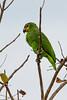 _61B3636Orange Winged Parrot (Amazona amazonica)-2