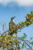 _61B3931 White Woodpecker (Melanerpes candidus)