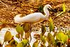 _61B3491 snowy egret