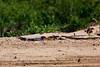 _61B3947 Yellow-Billed Tern (Sternula superciliaris)