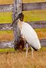 Wood Stork Cabeca - seca _61B3470
