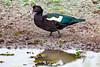 _61B3669 Muscovy Duck (Cairina moschata)