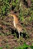 _61B4239 immature Tiger Heron