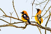 _61B3820Burnished-Buff Tanager