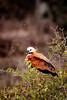 _61B3681Black-Collared Hawk (Busarellus negricollis)  -2