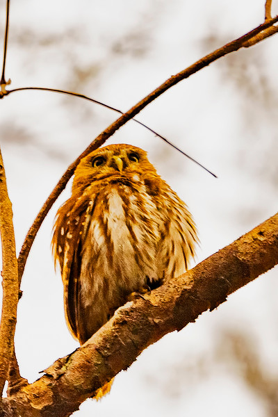 _61B3622 Ferruginous Pygmy_Owl (Glaucidium brasilianum)