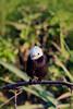 _61B3830White headed MARSH-TYRANT (Arundinicola leucocephala)
