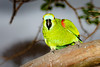 _61B3680Blue Fronted Parrot (Amazona aestiva)