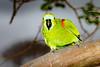 _61B3680Blue Fronted Parrot (Amazona aestiva)