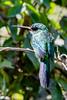 _61B3717 Hummingbird (?sp)