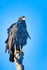 _61B3825 GREAT BLACK HAWK (Buteogallus urubitinga)