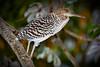 _61B3545 Tiger Heron (immature)