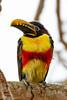 _61B3584chestnut eared aracari (Pteroglossus castanotis)