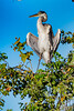 _61B3801 Cocoi Heron